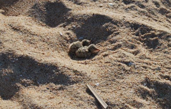 Passeia pela praia…mas cuidado com os ninhos e filhotes das aves marinhas!