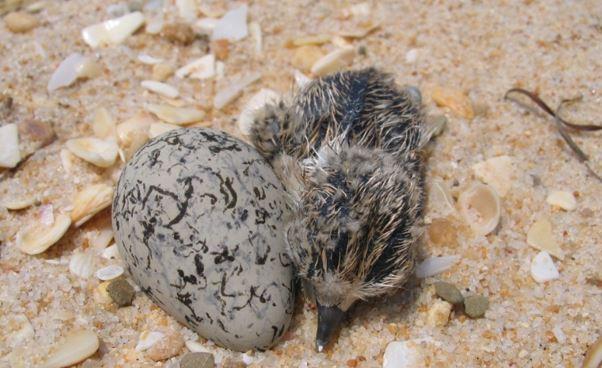 Ao passear pela praia, cuidado com os ninhos